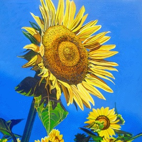 SUNFLOWER #1 • 24 inches x 24 inches • ©2010 Marie Scott